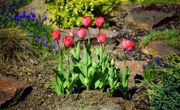 郁金香在庭院里 免版税库存照片