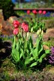 郁金香在庭院里 免版税库存图片