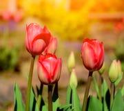郁金香在庭院里 库存照片