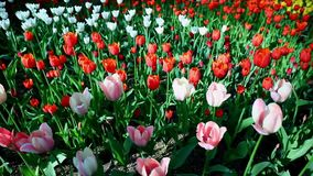 郁金香在文化和其余中央公园圣彼德堡