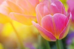郁金香在早晨阳光,甜软的模糊的花背景下 库存照片