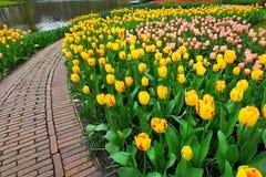 郁金香在春天庭院里 库存照片