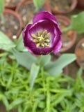 郁金香在春天开花绽放 免版税图库摄影