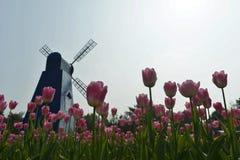 郁金香在春天开花绽放 免版税库存照片