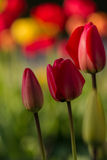 郁金香在春天期间的一个庭院里 免版税图库摄影