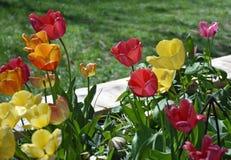 郁金香在春天的花床 免版税图库摄影
