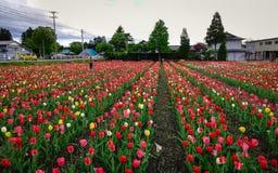 郁金香在春天的领域开花 库存图片