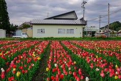 郁金香在春天的领域开花 免版税库存照片