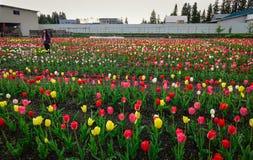郁金香在春天的领域开花 库存照片