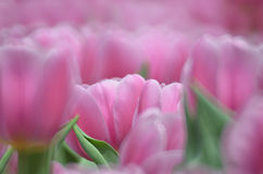 郁金香在春天 库存照片
