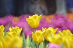 郁金香在春天 图库摄影