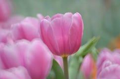 郁金香在春天 免版税库存图片