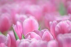 郁金香在春天 免版税库存照片