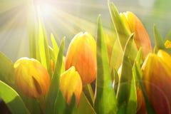 郁金香在有明亮的太阳的春天 免版税库存图片