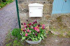 郁金香在石墙附近开花 库存图片