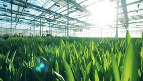 郁金香在花床上增长自一间大温室 股票视频