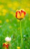 郁金香在花草甸 免版税库存照片
