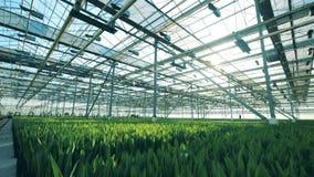 郁金香在行在花床上增长在玻璃温室 股票视频