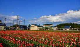 郁金香在领域开花在Tohoku,日本 库存图片