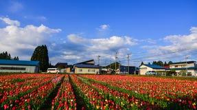 郁金香在领域开花在Tohoku,日本 免版税库存照片