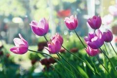 郁金香在晴天在庭院里 免版税图库摄影