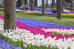 郁金香庭院在伊斯坦布尔,作为每年郁金香节日一部分的土耳其 库存照片
