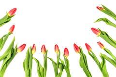 郁金香开花形成在白色背景的一个边界框架与拷贝空间 库存图片