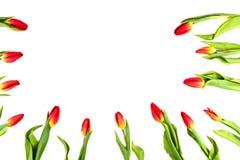 郁金香开花形成在白色背景的一个边界框架与拷贝空间 免版税库存照片