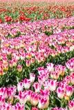 郁金香开花紫色、白色和红色 免版税库存图片
