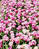 郁金香开花紫色和白色 库存照片