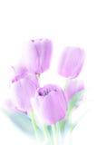 郁金香开花高关键抽象和软的颜色 免版税库存图片
