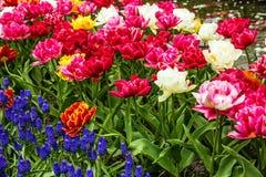 郁金香开花,花圃,荷兰,荷兰 库存照片