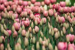 郁金香数千的开花的领域郁金香 免版税库存照片
