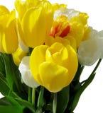 郁金香明亮的黄色欢乐花束在白色背景的 免版税库存照片