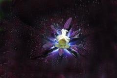黑郁金香星系 库存照片
