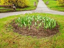 郁金香春天花在庭院和公园里 库存照片