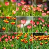 郁金香春天绽放在庭院里 图库摄影