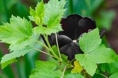 黑郁金香是一朵罕见的花 免版税库存照片