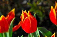 郁金香是一朵装饰花 免版税库存照片