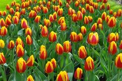 郁金香是一朵装饰花 图库摄影
