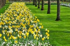 郁金香是一朵装饰花 免版税库存图片