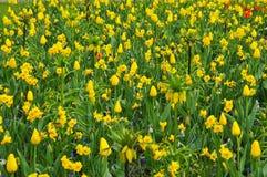 郁金香是一朵装饰花 库存照片