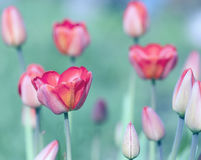 郁金香是开花的在庭院里 库存图片