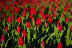 郁金香是爱一朵经典花  郁金香是唯一种子耳垂植物类  红色郁金香是选择颜色  库存照片