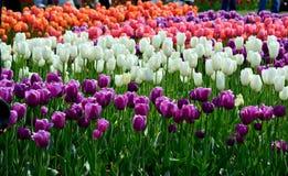 郁金香显示品种和颜色 免版税库存照片