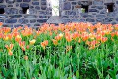 郁金香枯萎花束与自然石墙 免版税库存照片