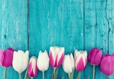 郁金香框架在绿松石土气木背景的 春天fl 免版税库存照片