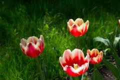 郁金香植物在公园 库存照片