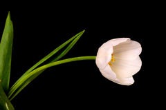 郁金香植物布置 免版税库存图片