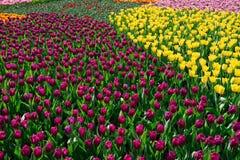 郁金香海在庭院里 免版税库存图片